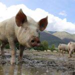 豚肉を控えている人は血液中に豚白血球が少ないかも。それとアルファガル|栄養学サイトのNutritionFacts.orgを見よう