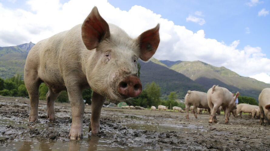 豚肉を控えている人は血液中に豚白血球が少ない。それとアルファガル